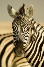 Stripes (colour)  Burchell's Zebra   Equus burchellii