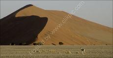 Desert springbok
