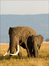 Tusker and female  African elephants - Loxodonta africanus