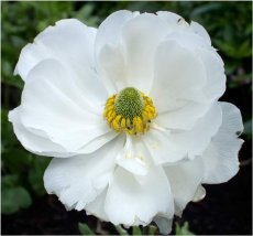 White Poppy  (Artomecon merriamii)