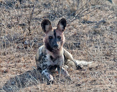 Under observation by an African Wild Dog