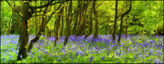 Burton bushes Bluebells 1
