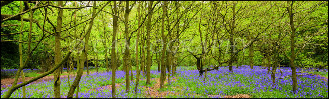 Burton bushes Bluebells 2