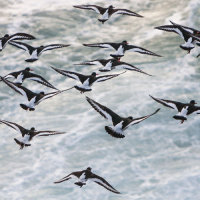 Oyster Catcher Flight