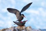 Inca Tern 001