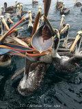 Peruvean Pelican 008
