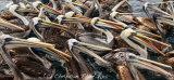 Peruvean Pelican 004
