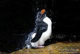 Rockhopper Penguin 003