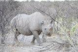 Black rhino 01