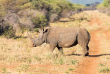 White rhino 01