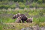 Brown bear 07