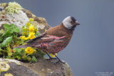 Grey-cheeked rosy finch 01