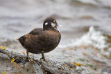 Harlequin duck 02