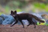Arctic fox 03