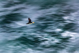 Horned Puffin 09