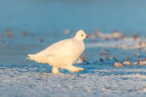 Willow ptarmigan 02