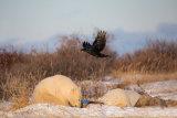 Raven 03