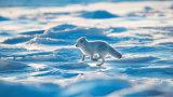 Arctic fox 09