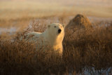 Polar bear 22