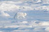 Arctic fox 05