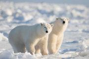 Polar bear 07