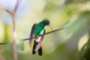 Emerald hummingbird 03