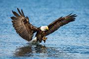 Bald eagle 19