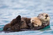 Sea otter 01