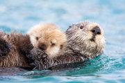 Sea otter 02