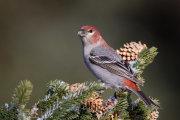 Pine grosbeak 05