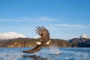 Bald eagle 16