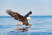 Bald eagle 06