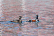Harlequin duck 01