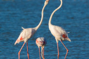 Greater flamingo 01