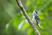 Black and white warbler 01