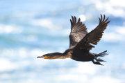 Cape Cormorant 01