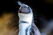 African penguin 08