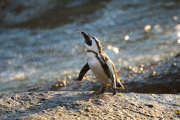 African penguin 05