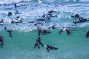 African penguin 02