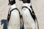 African penguin 04
