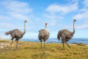 Ostrich 014