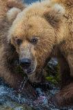 Brown bear 06