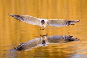 Birds of Norway
