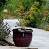 Glazed pot with Acer