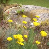 Insect friendly Achillea 'Moonshine'