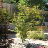 Acers with contrasting stem colour enliven the Cotswold terrace
