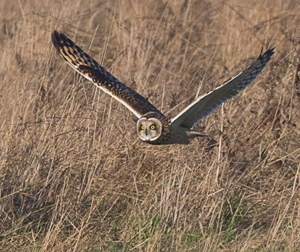 short eared owl hunting for food