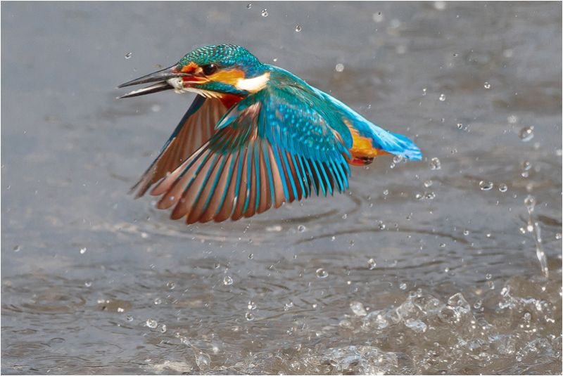 Kingfisher emerging with fish
