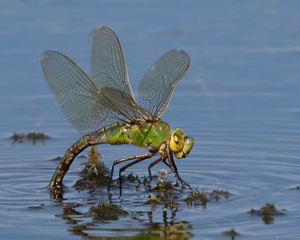 emperor dragonfly laying eggs
