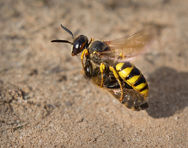 bee wolf wasp in flight with prey